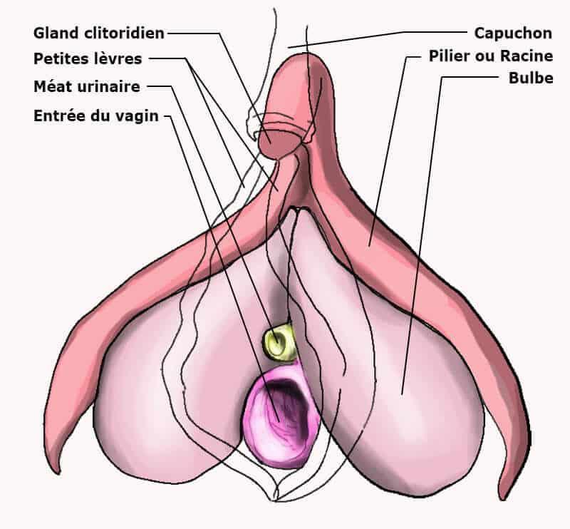 clitoris entier avec la vulve en transparence avec légende