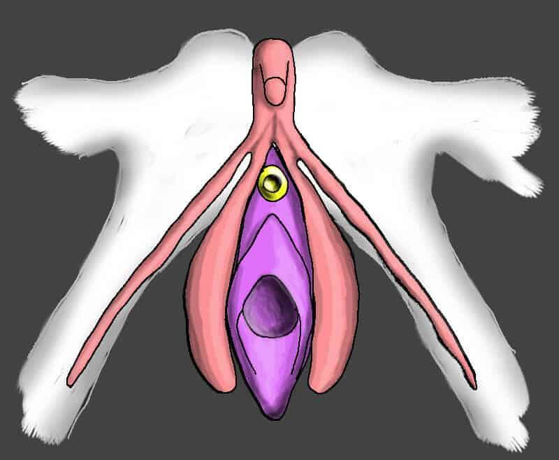 Simulation du clitoris et de la vulve au repos avant pénétration
