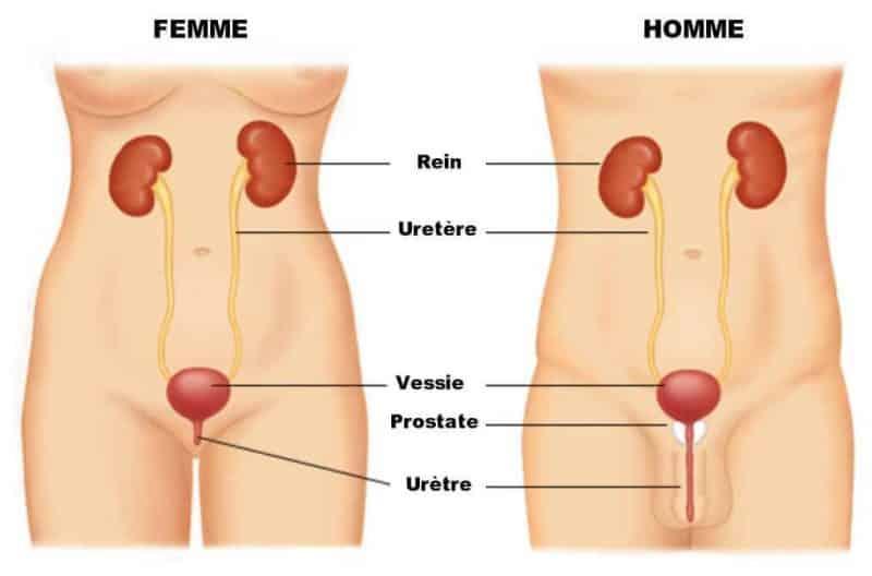 anatomie-appareil-urinaire